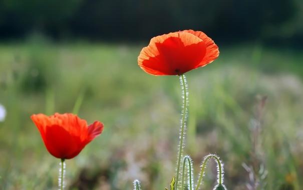 Фото обои зелень, макро, цветы, красный, стебли, мак, маки