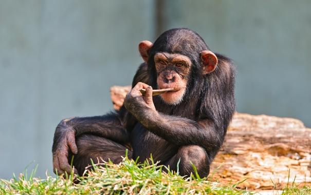 Фото обои задумчивость, обезьяна, мыслитель, шимпанзе