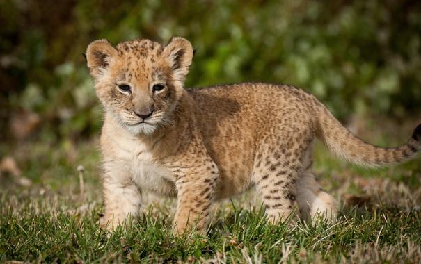 Фото обои хищник, лев, львёнок