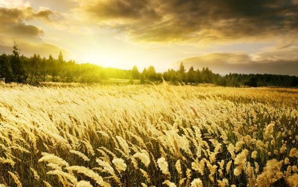 Фото обои небо, рассвет, Warm Sunrise, золотые, поле, пшеница, колоски