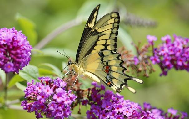 Фото обои цветы, бабочка, насекомое, мотылек, соцветие
