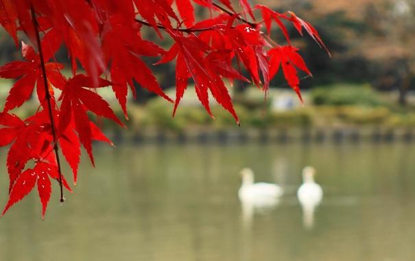 Фото обои багрянец, листья, осень, клен, озеро, ветка, птицы