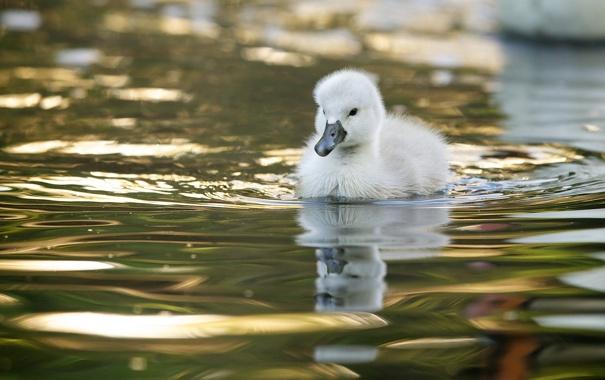 Фото обои вода, малыш, лебедь, птенец, лебедёнок