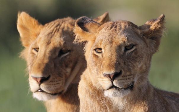 Фото обои морда, кошки, пара, львы, львята