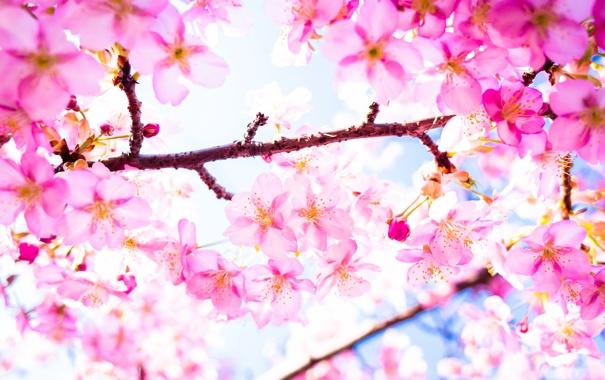 Фото обои дерево, ветка, весна, сакура, цветение