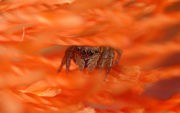 Фото обои цветок, паук, лепестки, джампер, спрятался