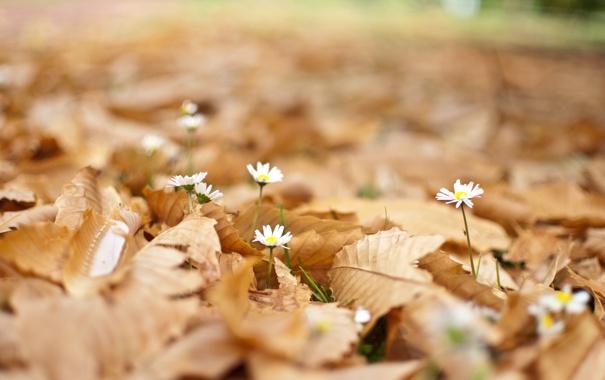 Фото обои листья, цветы, ромашки, опавшие, боке