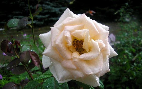 Фото обои зелень, капли, роса, роза