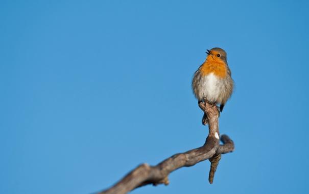 Фото обои birds, uccelli, pettirosso, Erithacus rubecula