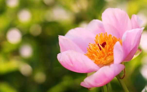 Фото обои цветок, лето, розовый, фокус, пион