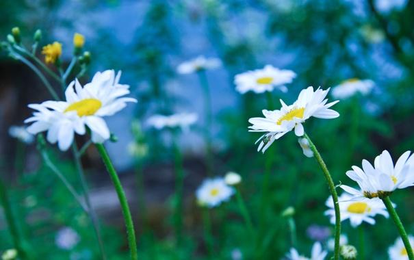Фото обои фон, поляна, ромашки, размытость
