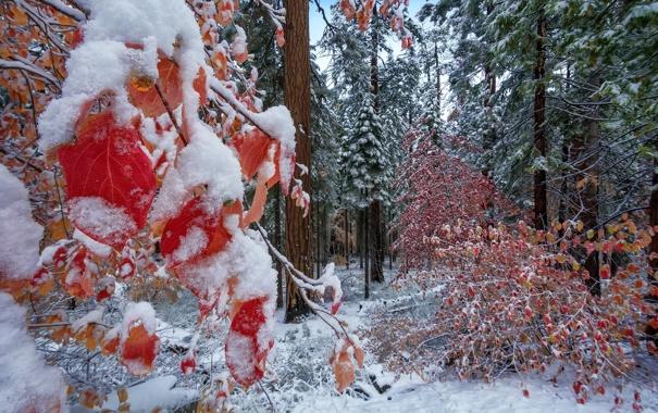 Фото обои лес, природа, Autumn Snow