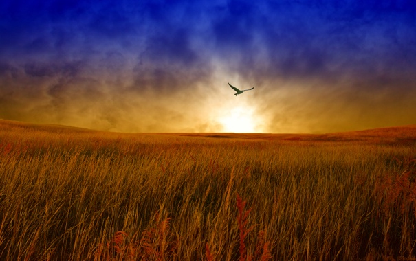 Фото обои поле, небо, облака, полет, пейзаж, закат, птица