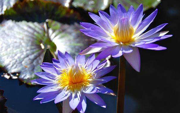 Фото обои дуэт, нимфея, водяная лилия