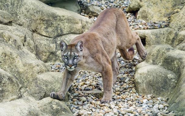 Фото обои кошка, камни, пума, горный лев, кугуар, ©Tambako The Jaguar