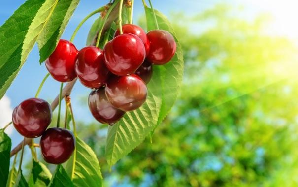 Фото обои вишня, ветка, черешня, sweet, cherry, berries