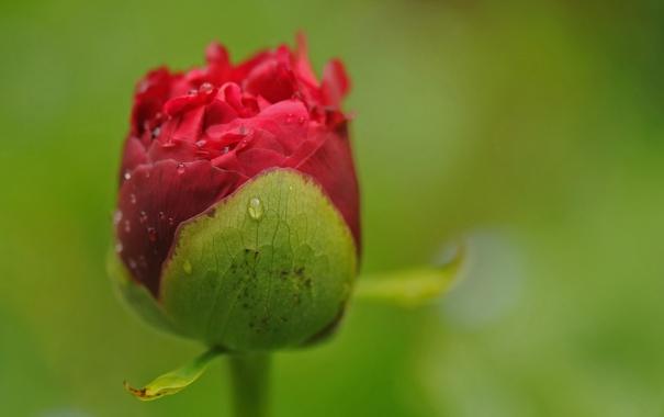 Фото обои природа, цветок, макро