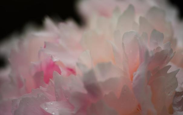 Фото обои цветок, макро, пион