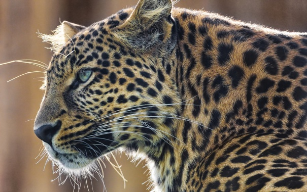 Фото обои усы, морда, хищник, леопард, leopard, panthera pardus