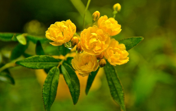 Фото обои листья, вода, капли, макро, роса, куст, лепестки