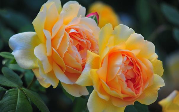 Фото обои макро, розы, лепестки, дуэт, бутоны