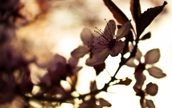 Фото обои цветок, макро, цветы, природа, вишня, растение, фокус