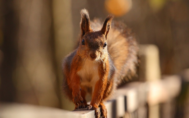 Фото обои осень, животное, забор, белка, белочка, грызун