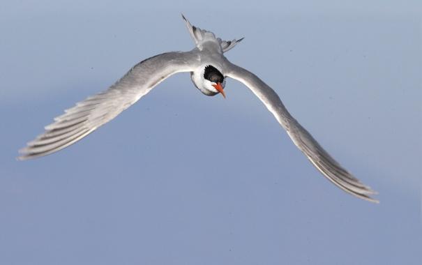 Фото обои птица, крачка, крылья, полет, небо