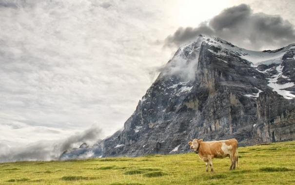 Фото обои природа, гора, корова