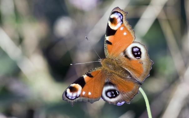 Фото обои бабочка, крылья, насекомое, павлиний глаз
