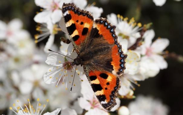 Фото обои фон, бабочка, цвет, размытость, крапивница, малый черепаховый