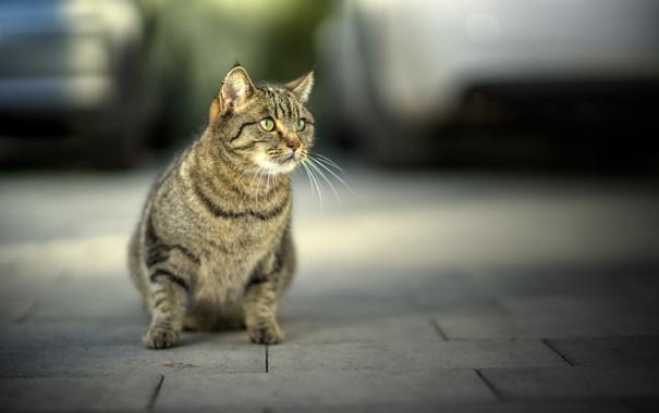 Фото обои кошка, усы, взгляд, морда, фон