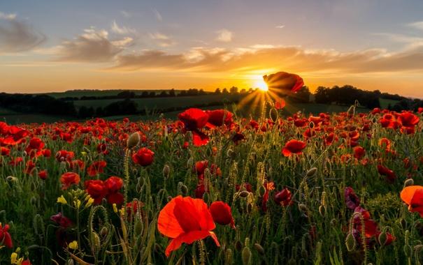 Фото обои поле, небо, солнце, закат, цветы, природа, маки