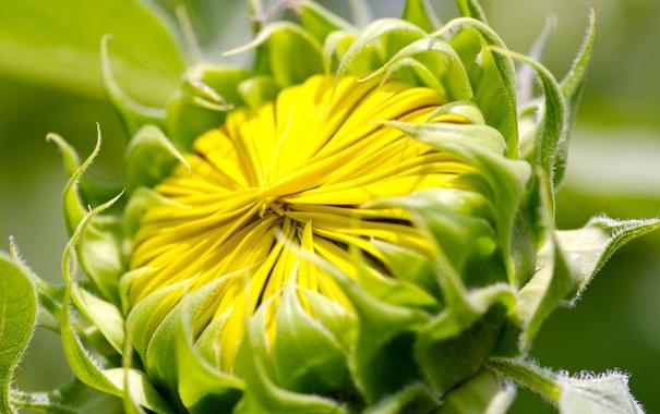 Фото обои цветок, жёлтый, лепестки, бутон