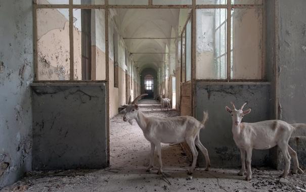 Фото обои дом, фон, козы
