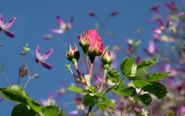 Фото обои роза, листья, небо, бутон, куст