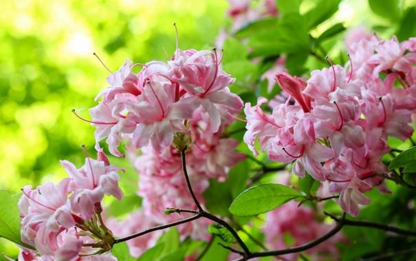 Фото обои цветы, розовый, ветка, цветение
