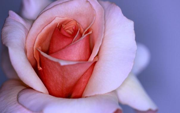 Фото обои цветок, макро, розовая, роза, лепестки