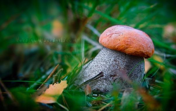 Фото обои гриб, Подосиновик красный, leccinum aurantiacum