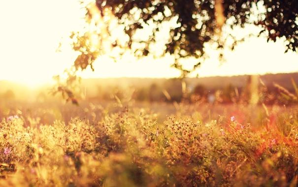 Фото обои поле, трава, листья, солнце, свет, деревья, закат