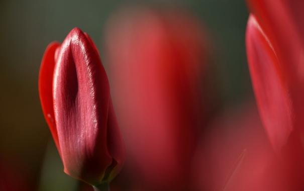 Фото обои цветы, природа, тюльпан