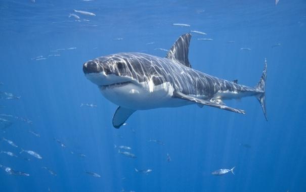 Фото обои море, рыбы, акула, красава, Белая акула