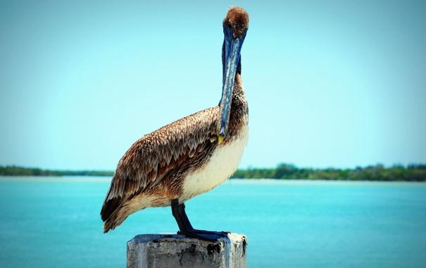 Фото обои животное, птица, клюв, стоит, пеликан