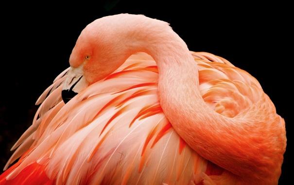 Фото обои темный фон, розовый, птица, перья, клюв, фламинго