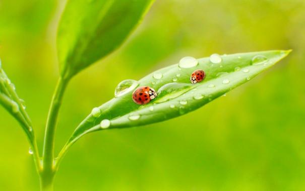 Фото обои листья, макро, природа, роса, утро, nature, божьи коровки