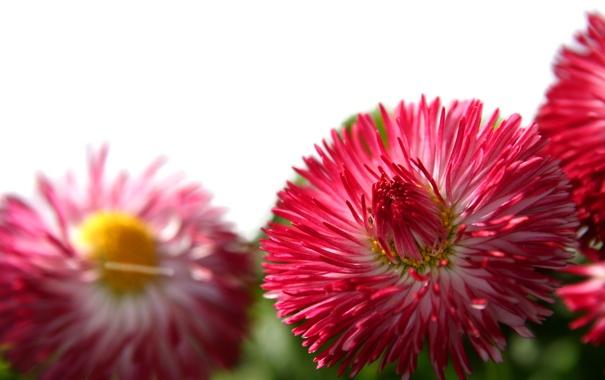 Фото обои розовый, Ромашка, необычная, 3 шт