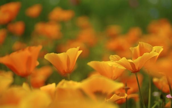 Фото обои природа, маки, желтые, много