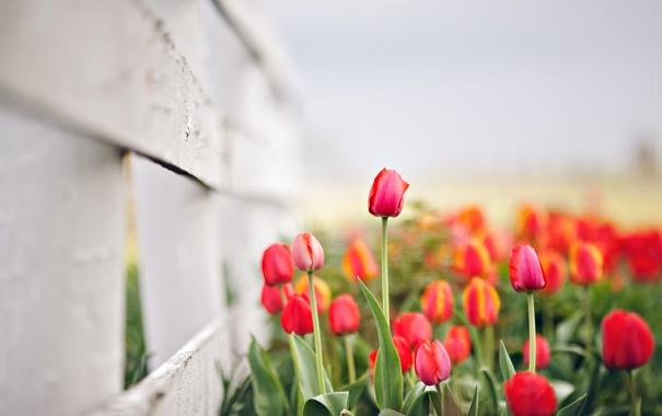 Фото обои цветы, природа, весна, тюльпаны, боке