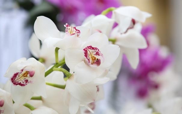 Фото обои цветы, орхидеи, цветение, flowers, orchids, flowering