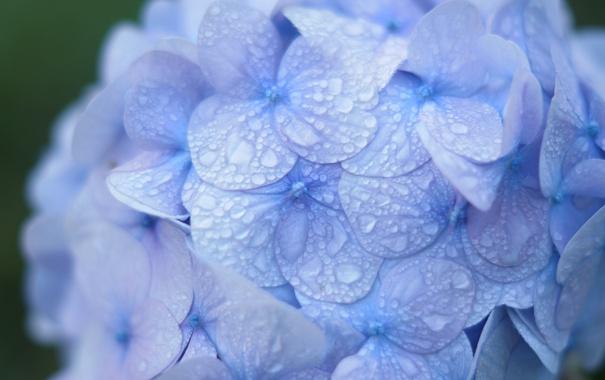 Фото обои капли, макро, роса, синяя, гортензия, соцветие